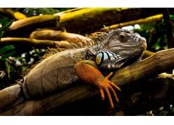 动物,鬣蜥,性质253562