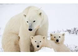 地球暖化,北极,北极熊,动物61943