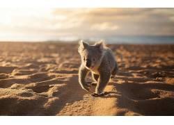 动物,考拉,海滩,砂337985