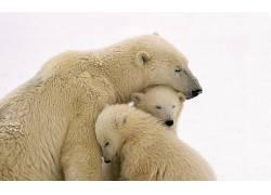 北极熊,雪,动物,性质,小动物,家庭95195