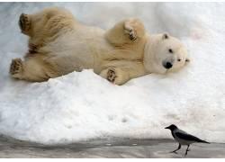 北极熊,雪,动物,熊,鸟类25050
