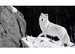 北极狼,动物,雪172688