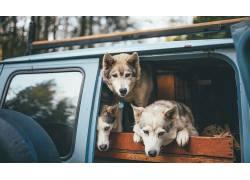 动物,背景虚化,木,狼,吉普车339780