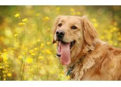 动物,舌头,黄色的花朵,狗,金毛猎犬122951