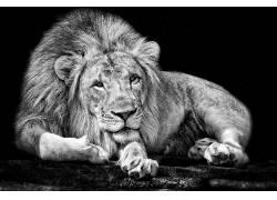 单色,动物,狮子,黑色,白色2452