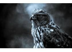 单色,动物,鸟类,鹰(动物)9036