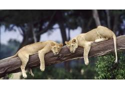 动物,狮子,休息,树木,野生动物365229