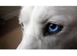 动物,蓝眼睛,西伯利亚雪橇犬,狗25660