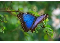 动物,蓝色,蝴蝶,华美,绿色,昆虫,树叶,宏,野生动物,翅膀354521