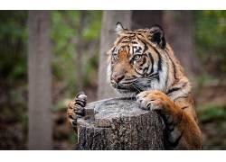 动物,虎,性质,景深,大猫,树桩262614