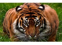 动物,虎,性质122719