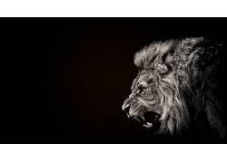 动物,狮子,黑色,选择性着色49874