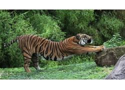 动物,虎,拉伸124121