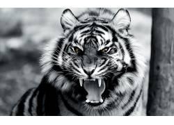 动物,虎,数字艺术33715