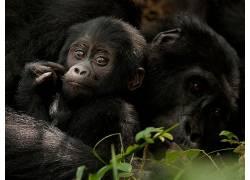 大猩猩,类人猿,动物14036