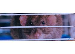大鼠,动物,笼子,啮齿动物,老鼠,晶须207777