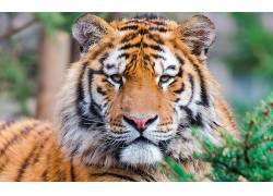 动物,虎,特写,大猫40042