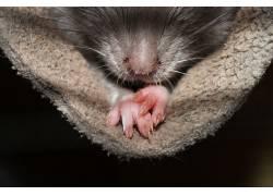 大鼠,性质,动物,宠物160810