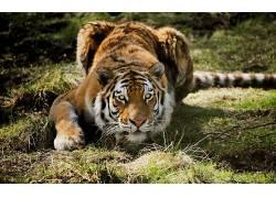 动物,虎,特写195893