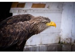 德国,性质,动物,尼康,鹰,摄影347748