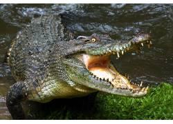 动物,鳄鱼,爬行动物,水245565