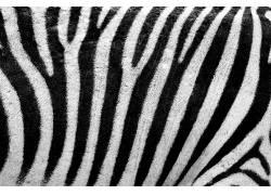 抽象,动物,黑色,毛皮,线,模式,皮肤,条纹,质地,白色,斑马354519