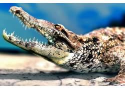 动物,鳄鱼,爬行动物267132