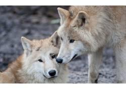动物,狼,特写191290