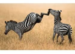 斑马,动物122668
