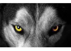 动物,狼,选择性着色180385