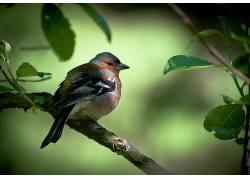动物,鸟类,小插图,树枝,雀232848