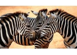 斑马,动物275073