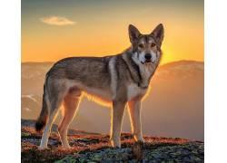 动物,狼,阳光301952