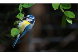 动物,鸟类,山雀,树叶190243