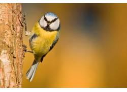 动物,鸟类,山雀212763
