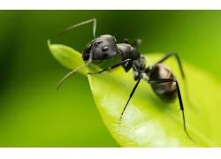 动物,蚂蚁,昆虫,膜翅目,宏366161