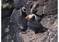 动物,鸟类,岩,海雀173303