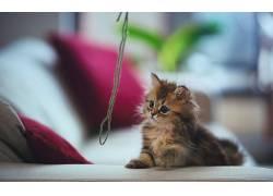 本托罗德,字符串,动物,长椅,猫,蓝眼睛,靠垫163439