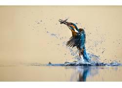 动物,鸟类,性质,翠鸟,水,水滴,钓鱼,反射,狩猎,鱼,马丁pêcheur19