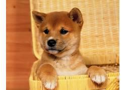 柴犬,狗,篮,动物,小动物56186