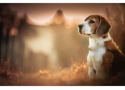 比格犬,狗,模糊,景深,动物169770