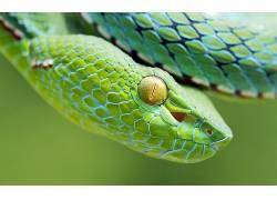 动物,蛇,爬行动物,毒蛇180408
