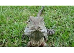 澳大利亚水龙,动物,爬行动物3775