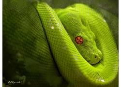 动物,蛇,爬行动物,蟒蛇33070