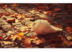 动物,鸟类,树叶,鹅卵石,鸽子,秋季145456