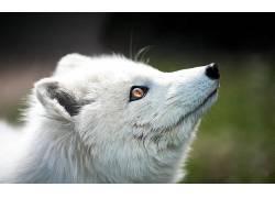 白狐,动物,性质,模糊262613