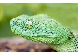 动物,蛇,野生动物,爬行动物,性质,毒蛇101611