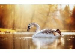 动物,鸟类,水,天鹅353879