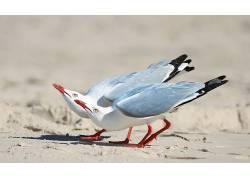 动物,鸟类,海鸥203475