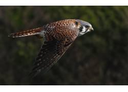 动物,鸟类,猎鹰26947
